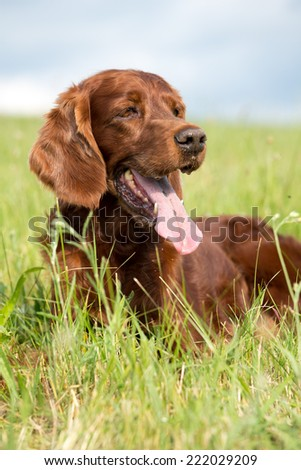 Portrait of a nice Irish Setter in the meadow  - stock photo