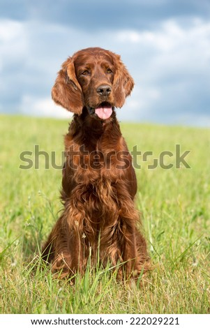 Portrait of a nice Irish Setter in the meadow