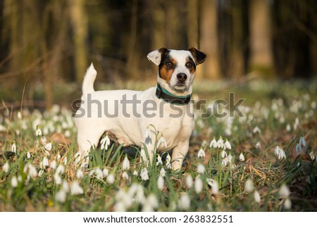 Portrait of a nice Jack Russel Terrier in spring forest - stock photo