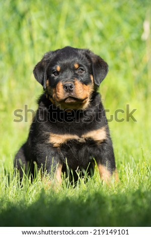 Portrait of a nice Rottweiler puppy