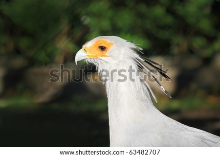 portrait of a nice secretary bird  (Sagittarius serpentarius)
