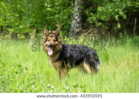 Portrait of a nice Shepherd dog on the meadow - stock photo