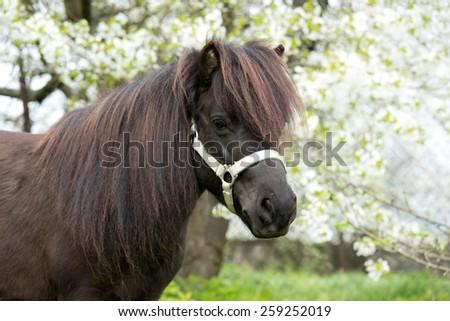 Portrait of a nice Shetland pony mare - stock photo