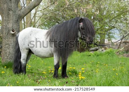 Portrait of a nice shetland pony stallion  - stock photo
