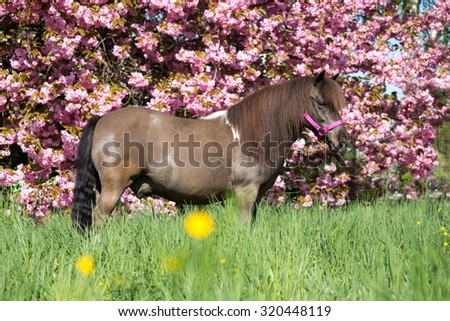 Portrait of a nice shetland pony with sakura - stock photo