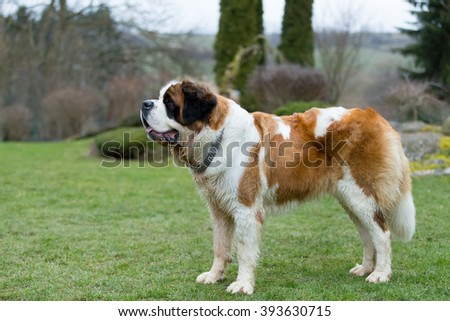 Portrait of a nice St. Bernard dog, female in the spring garden - stock photo