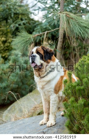 Portrait of a nice St. Bernard dog, female in the spring garden, best friend with sad eyes - stock photo