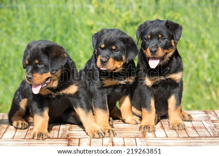 Portrait of a nice three Rottweiler puppy - stock photo