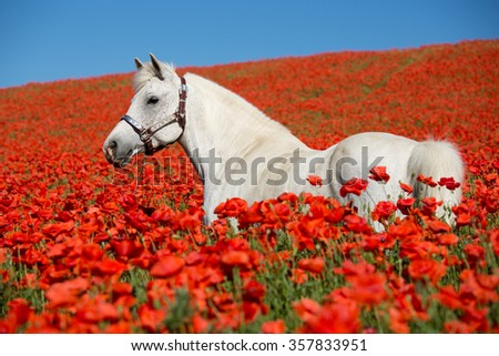 Portrait of a nice white horse in the poppy field - stock photo