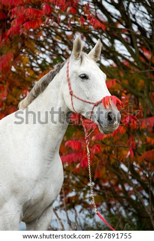 Portrait of a nice white horse on autumn background - stock photo