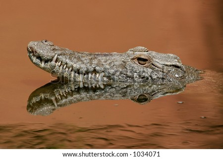 Portrait of a nile crocodile (Crocodylus niloticus) in water, South Africa