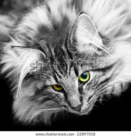 Portrait of a Norwegian Forest Cat in black and white, with eyes in their original color. - stock photo