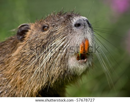 Portrait of a nutria