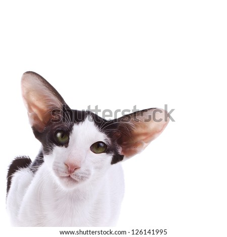 portrait of a oriental cat bi-color black and white with green eyes isolated of white background - stock photo