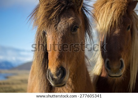 Portrait of a pair of Icelandic horses