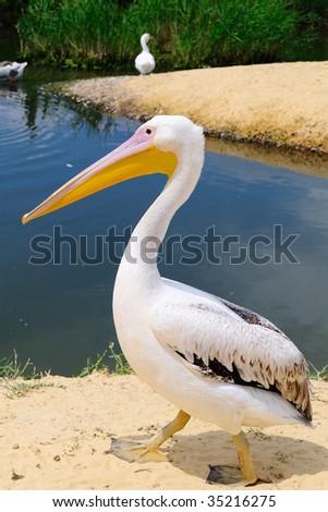 Portrait of a pelican - stock photo