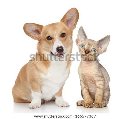Portrait of a pembroke welsh corgi and devon rex kitten on white background - stock photo