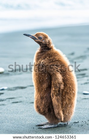 Portrait of a penguin with brown feathers, South Geaorgia, South Atlantic Ocean - stock photo