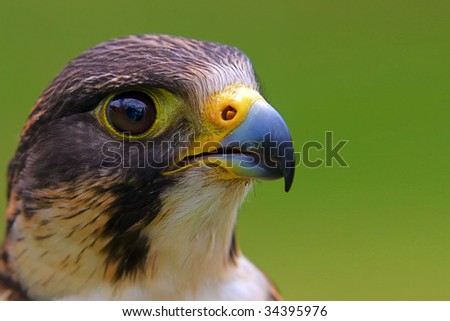 Portrait of a peregrine falcon on a green background with copyspace. Latin name Falco peregrinus - stock photo