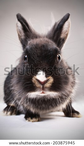 Portrait of a pet bunny / Studio shot - stock photo