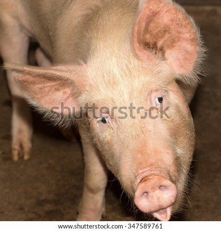 portrait of a pig farm