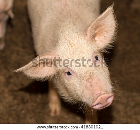 portrait of a pig on the farm - stock photo