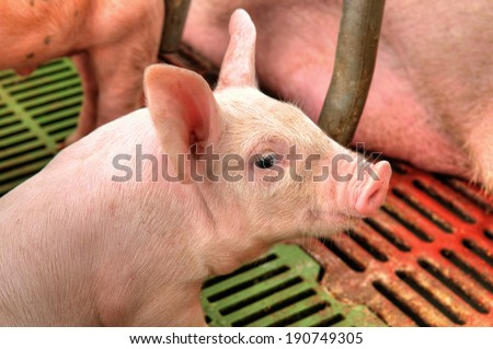 Portrait of a piglet. - stock photo