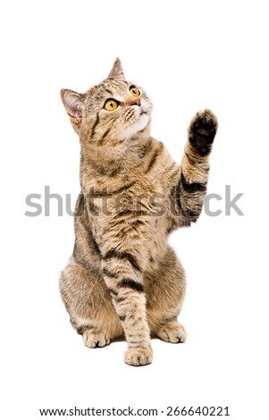 Portrait of a playful cat Scottish Straight sitting with paw raised isolated on white background - stock photo