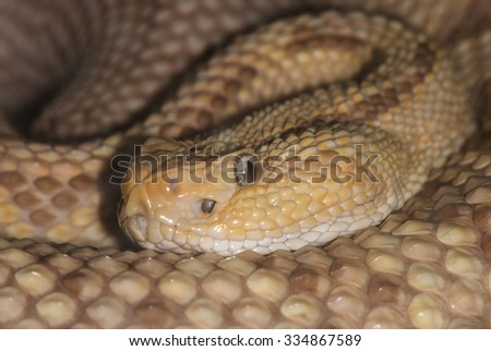 portrait of a poisonous snake (rattlesnake) closeup