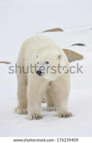 Portrait of a polar bear on snowwhite background - stock photo