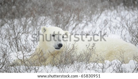 Portrait of a polar bear. The bear lies in undersized bushes. Snow. - stock photo