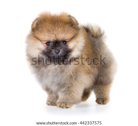 Portrait of a Pomeranian puppy age of 1,5 month isolated on white background