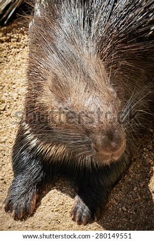 Portrait of a porcupine laying in the sun. - stock photo