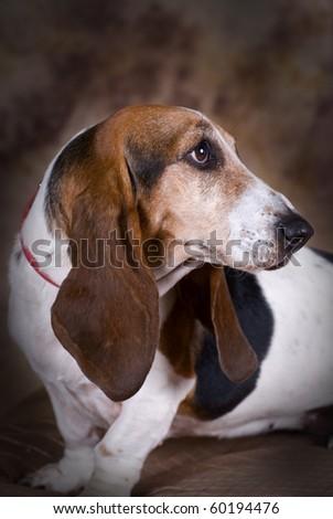 Portrait of a pretty female Bassett Hound. - stock photo