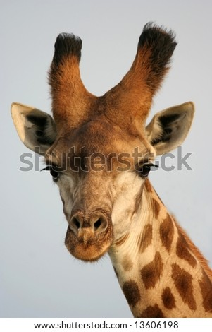 Portrait of a pretty giraffe from Africa