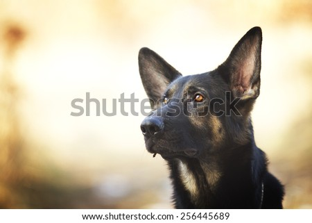 portrait of a pretty young and fun german shepherd dog puppy in sunset spring background - stock photo