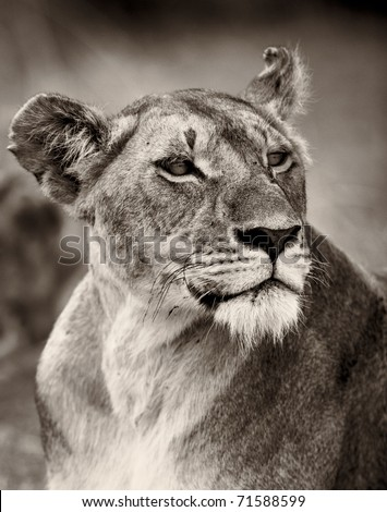 Portrait of a proud lioness in the Masai Mara, Kenya, East Africa - stock photo