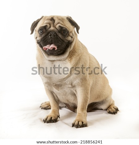 portrait of a pug dog in the studio