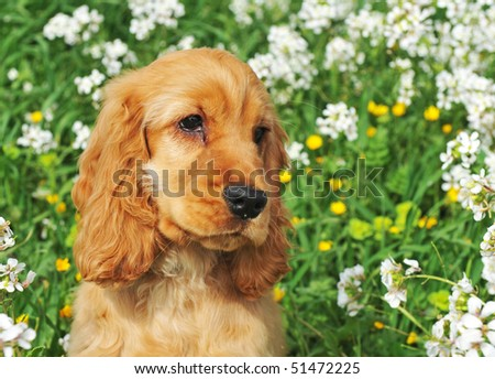 portrait of a puppy cocker spaniel in a field with flowers - stock photo