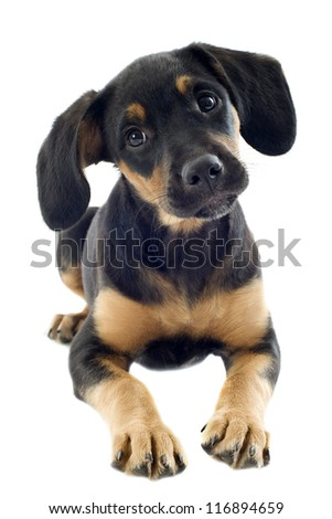 portrait of a puppy  doberman in a studio - stock photo