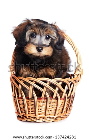 Portrait of a puppy in a basket. Puppy of decorative breed. Small doggie in a basket. Puppy of the Petersburg orchid. Dog in a basket.