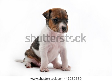 portrait of a puppy jack russel terrier