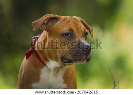 Portrait of a puppy on the nature close up. Pitbull. 4 months of age.