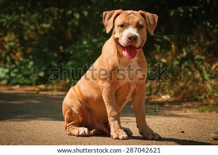 Portrait of a puppy on the nature close up. Pitbull. 4 months of age. - stock photo