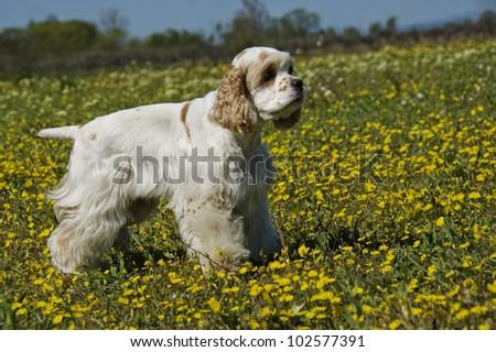 portrait of a puppy purebred belgian shepherd tervueren - stock photo
