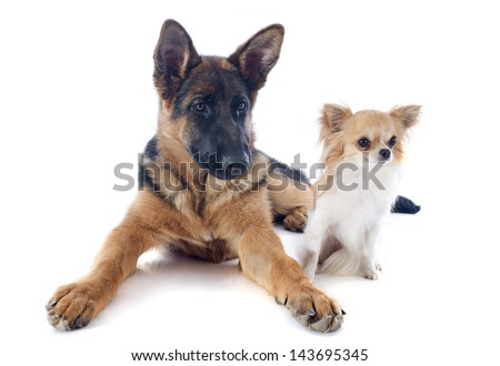 portrait of a  puppy purebred german shepherd and chihuahua in front of white background