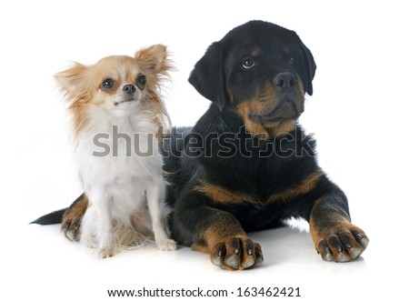 portrait of a puppy rottweiler and  chihuahua in front of white background