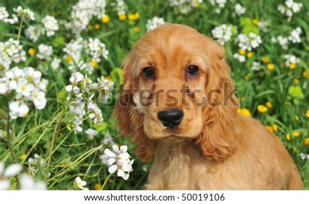 portrait of a puppy spaniel cocker in a field of flowers - stock photo