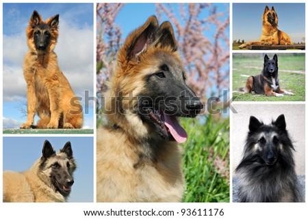 "belgian_dog"" Stock Photos, Royalty-Free Images & Vectors ..."