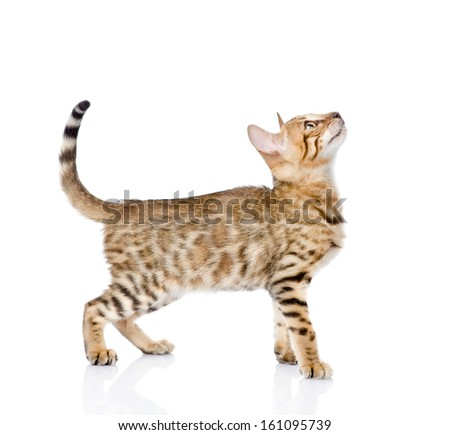 portrait of a purebred Bengal cat in profile. looking up. isolated on white background - stock photo